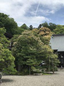 清涼寺 タブノキ