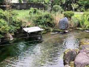 イトヨが泳ぐ義景清水