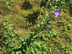 亀山城に咲く桔梗