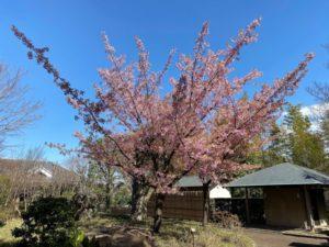 戸定が丘歴史公園 早咲きの桜
