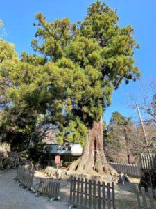 筑波山神社の大杉