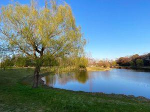 御所沼と柳の木