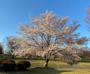 古河公方公園(古賀総合公園)の桜