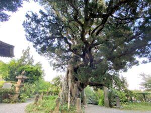 ビャクシン 樹齢900年 城願寺