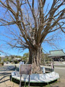 大銀杏 遊行寺
